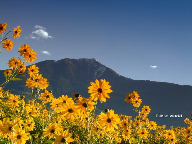 Mountain and flowers (jerusalem artichoke)