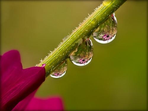 flora magenta drop refraction droplet frontpage cosmos amazingbokeh ahqmacro paololivornosfriends superamazingbokehaward magicunicornverybest magicunicornmasterpiece