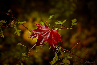 Hoja de otoño | by albertma.