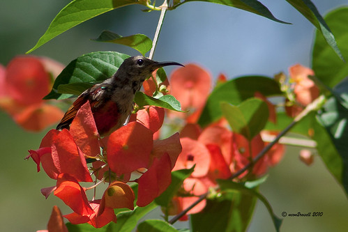Purple-throated Sunbird (Leptocoma sperata) | by neon2rosell