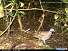 Francolin de Latham / Forest Francolin by julie.dewilde