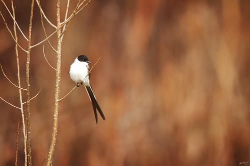 nature birds canon 7d vagrant widlife flycatcher wildbirds savana tyrannus 600mm tyrannussavana forktailedflycatcher