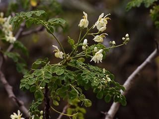 The Miracle Tree in Brisbane (Moringa oleifera) | by Tatters ✾