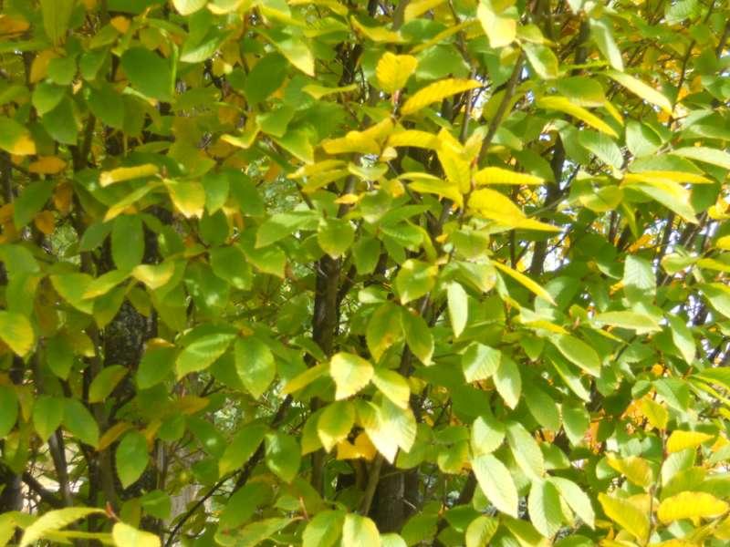 Carpinus betulus 'Fastigiata' 2