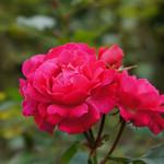 Rose Bordure Magenta バラ ボルデュール・マジェンタ