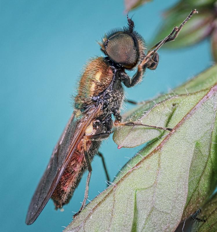 Chloromyia formosa ?