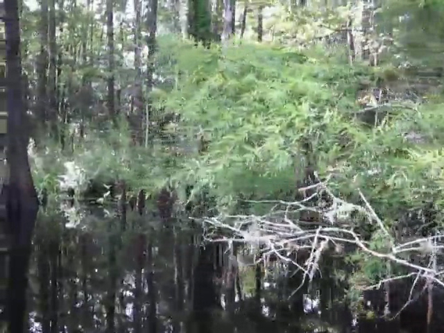 050 Video of Quietly drifting down Fisheating Creek watching the cypress trees pass by