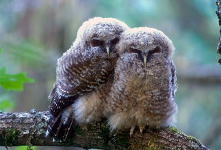 Threatened northern spotted owl (Strix occidentalis caurina) fledglings | by USFWS Endangered Species