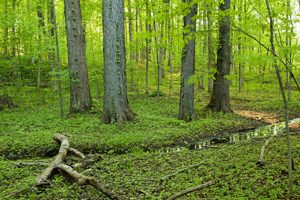Sacred Grove Old Growth Forest This Is A Section Of
