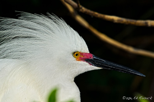 Snowy Egret Portrait (in breeding colors) | by Ed Rosack
