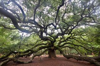 Angel Oak Tree | by Greg Walters