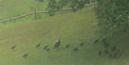 gary-scott-turkeys