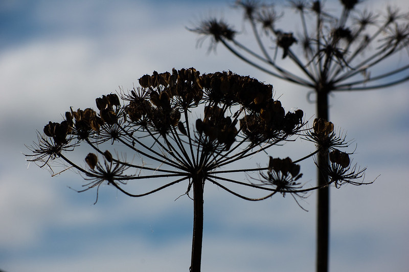 Umbellifer seeds