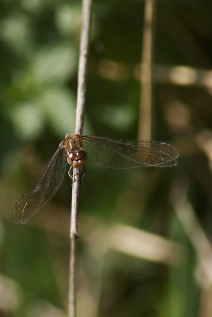 imgp1652 - Dragonfly