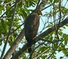 Águila Patirroja, Slate-coloured Hawk (Leucopternis schistaceus) by Francisco Piedrahita