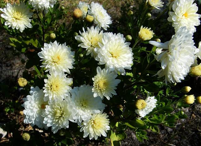 Dahlia hybride.