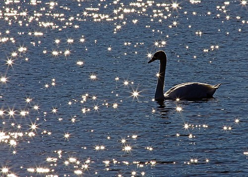 blue sunlight lake reflection bird wet water swan michigan muteswan starlight whitmorelake platinumphoto flickraward mygearandmepremium mygearandmebronze