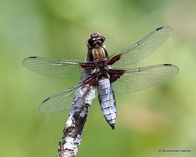 0S8A3308. Broad-bodied Chaser (Libellula depressa) male