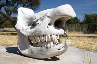 Rhino Skull | by Namibnat