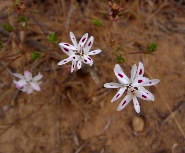 Three-Spot, Rosin Wood - Osmadenia tenella