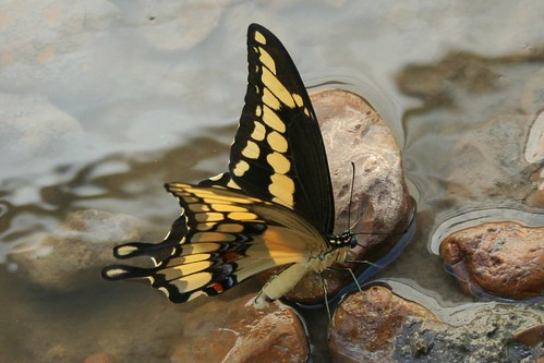 blue red black water yellow canon butterfly wings louisiana july lepidoptera riverrock 2010 giantswallowtail calcasieu schoolgarden puddling