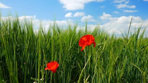 blue red two green field clouds landscape countryside corn maki poppy mak papaver poppys dwa zboże łan