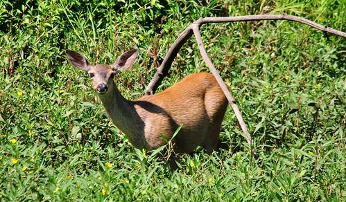 california nature northerncalifornia female feeding wildlife doe deer 500mm muledeer bigears pinecreek sacramentoriver invasive foraging muleears champbass2 rivernikond90sigma crrepingwaterprimrose