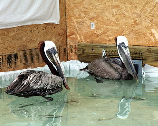 Oil spill Mobile – Briefings & Oiled Bird cleaning 059 rehab pelicans