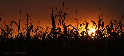 silhouette sunrise corn october foggy westmichigan jenison canont1i