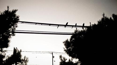 blackandwhite bw birds texas 365 birdsonwire project365 winterintx