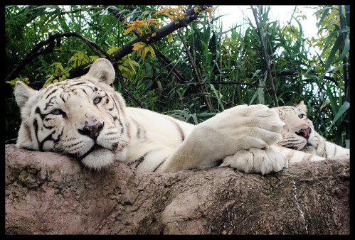 Tigres //