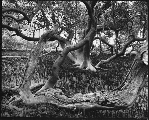 freestyle kodak trix australia 8x10 300mm photograph newsouthwales f56 monorail mangroves largeformat plaubel gelatinsilver wooliriver schneidersymmar