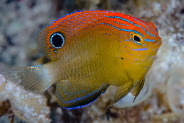 Speckled Damsel, juvenile - Pomacentrus bankanensis