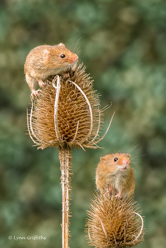 nature rodents harvestmouse captive fauna mammal mammals rodent rodentia wildlife greensnorton england unitedkingdom gb coth specanimal coth5 ngc sunrays5 npc