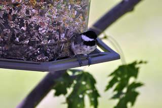 Chickadee on Feeder | by likeaduck