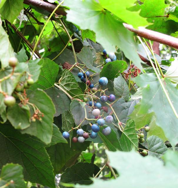 Porcelainberry - Invasive Species