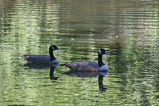 Geese | by cliff1066™