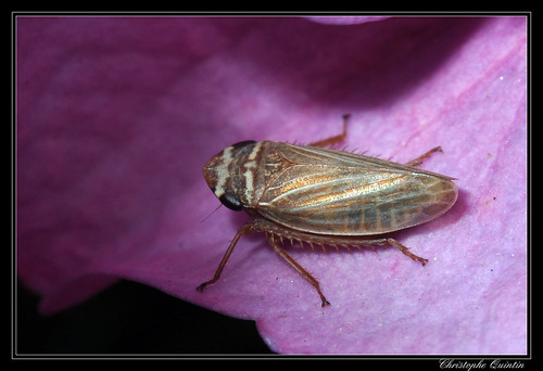 Cicadellidae/Aphrodinae (Aphrodes bicinctus ?)