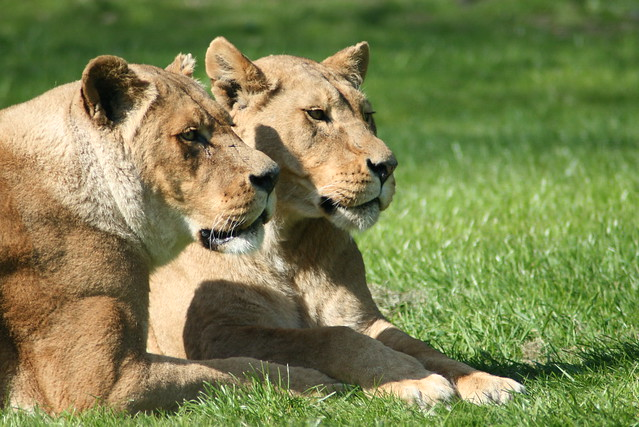 Longleat Zoo- Lions