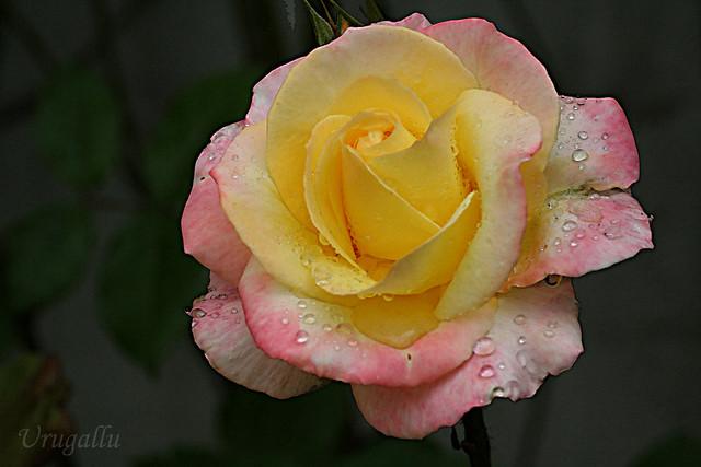 10 Rosas