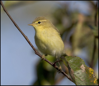 Willow Warbler  (Phylloscopus trochilus) | by Crotach