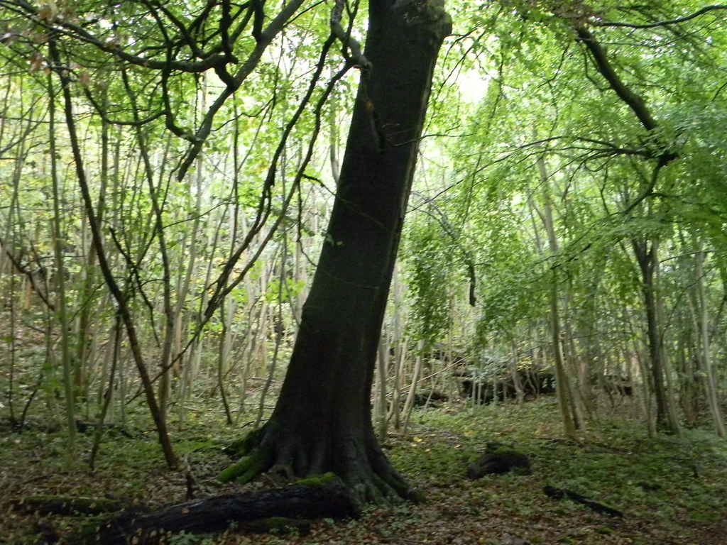 Leaning tree Box Hill Circular