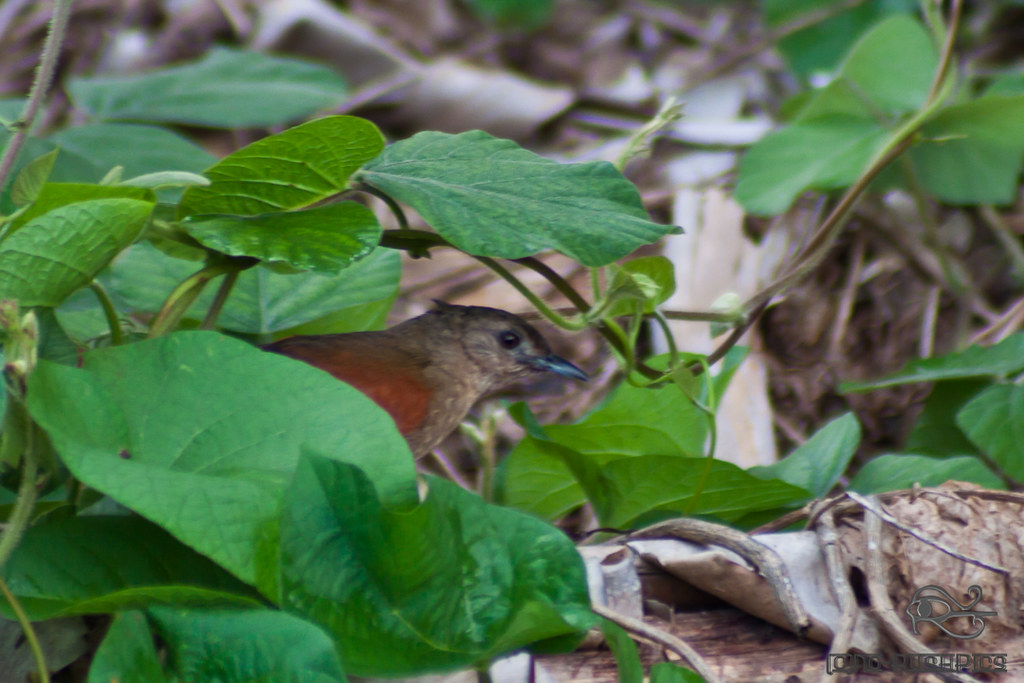Plain-crowned spinetail IMG_9598
