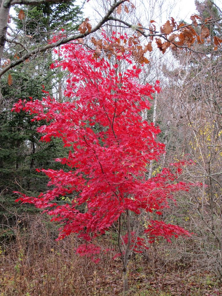 Last Of The Fall Colour Acer Palmatum Bloodgood Japane Flickr
