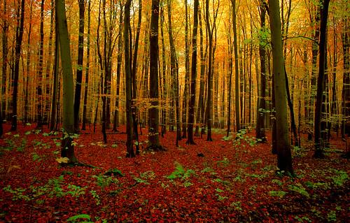 wood autumn trees tree fall leaves forest automne leaf nikon foret arbre bois feuille hetre foretdesoignes 50faves jezuseik mywinners d40x hetraie notredameaubois