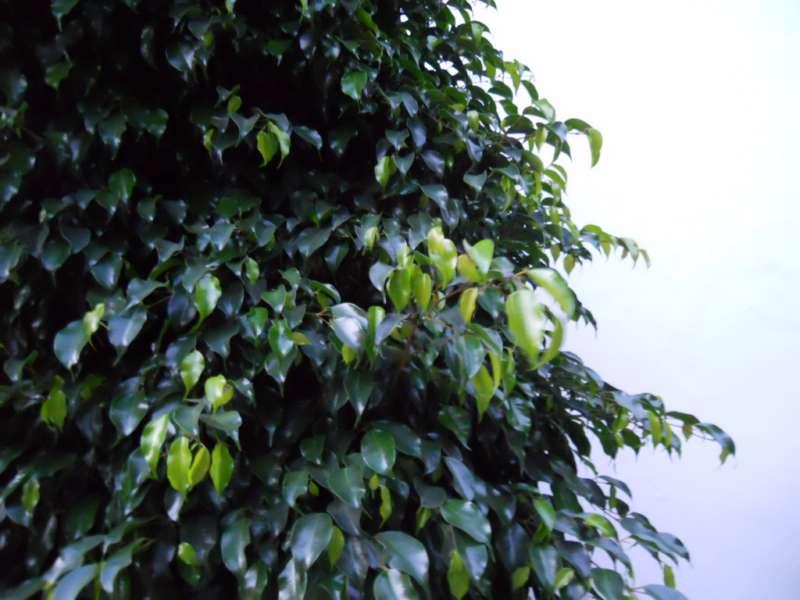 Ficus benjamina 'Crespada' 1