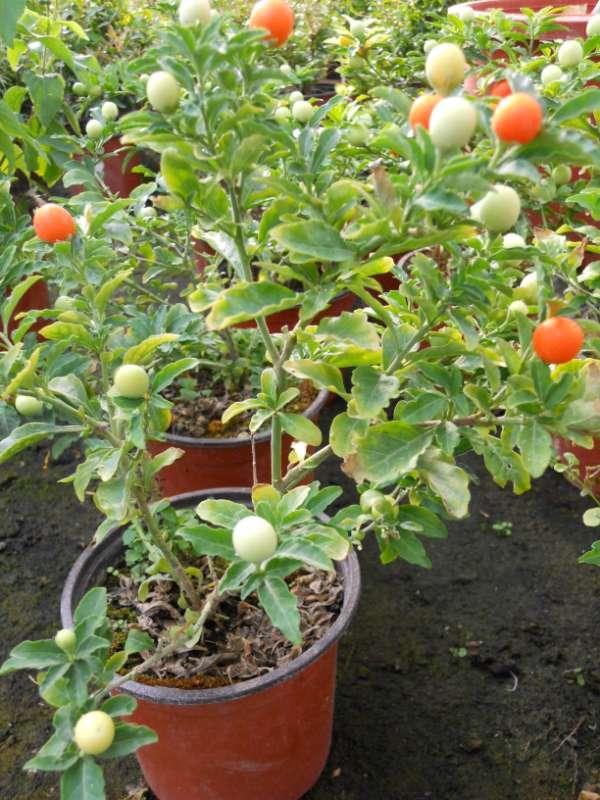 Solanum pseudocapsicum v 1