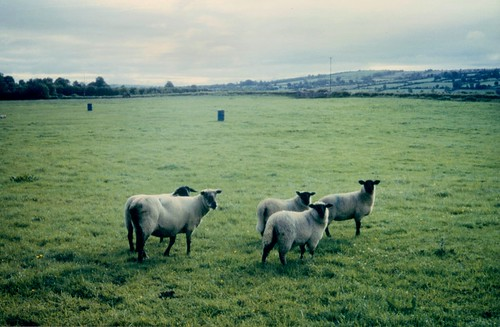 ireland sheep roscommon