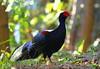銜草藍腹鷴 Swinhoe's Pheasant.Taken at Taiwan. by 賞景者 Jeff Lin