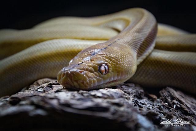 Baby Titanium Reticulated Python